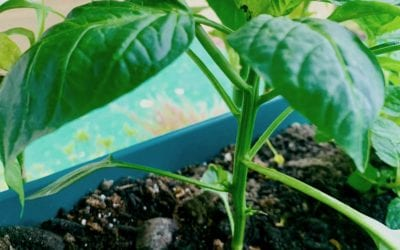 Bell Pepper: One of the Top Veggies to Plant in your Home Garden